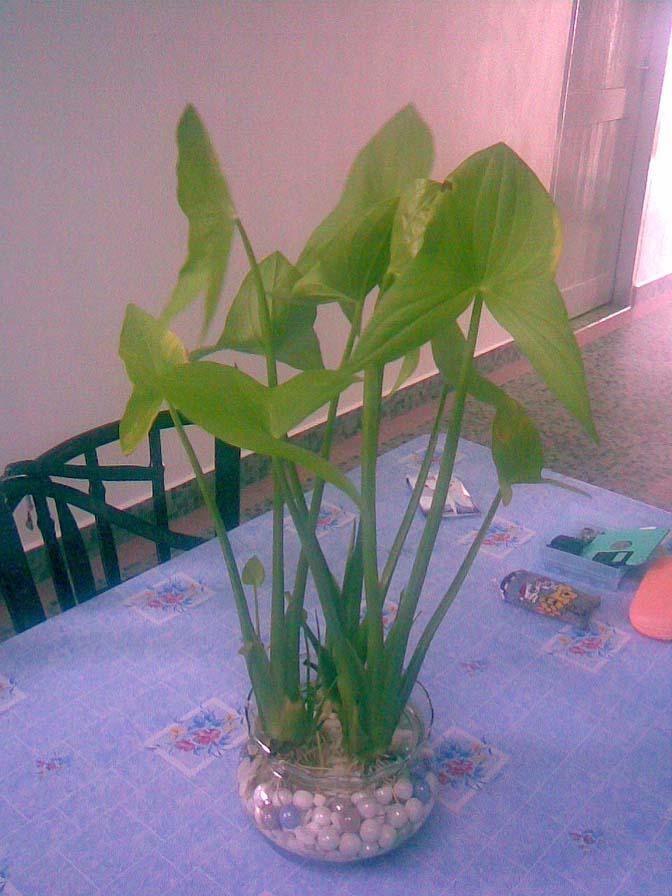 Arrowroot plant