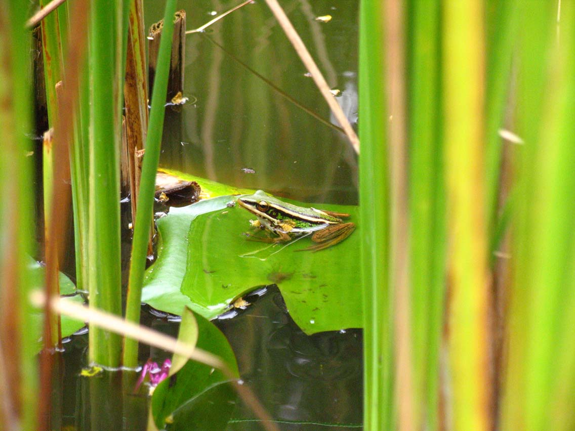 David Brown's frog in lily pond